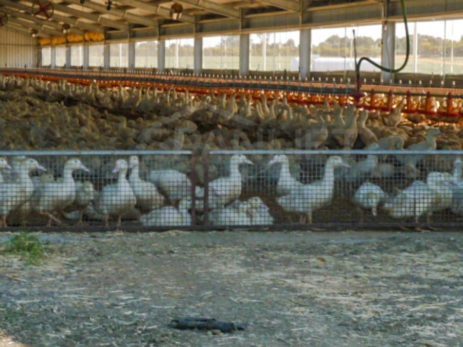 Duck Shed 1 Spanlift O4HcR  - Intensive Farming